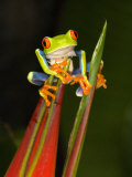 Close-Up of a Red-Eyed Tree Frog Sitting on a Heliconia Flower, Costa Rica Photographic Print