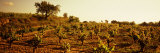 Vineyard, Penedes, Catalonia, Spain Photographic Print by  Panoramic Images