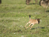 Wildebeest Calf Running in a Field, Ndutu, Ngorongoro, Tanzania Photographic Print