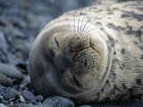 South Shetlands Islands, Half Moon Island, Weddell Seal, Antarctica Photographic Print by Allan White