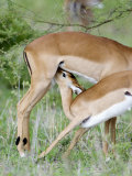 Impala Feeding it&#39;s Fawn, Tarangire National Park, Tanzania Photographic Print