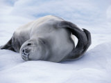 Paradise Bay, Crabeater Seal on an Ice-Floe, Antarctica Photographic Print by Allan White