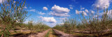 Almond Trees in Bloom, Central Valley, California, USA Photographic Print by  Panoramic Images