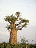 Baobab Tree on a Landscape, Berenty, Madagascar Fotografická reprodukce