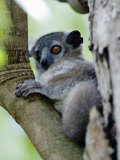 White-Footed Sportive Lemur Sitting on a Tree, Berenty, Madagascar Photographic Print