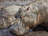 Katavi National Park, Hippos Wallow in Mud, Katuma River Dries at End of Long Dry Season, Tanzania Photographic Print by Nigel Pavitt