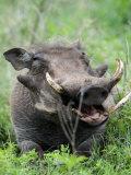 Warthog in a Field, Ngorongoro Crater, Ngorongoro, Tanzania Photographic Print