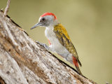 Grey Woodpecker Tapping Tree Trunk, Tarangire National Park, Tanzania Photographic Print