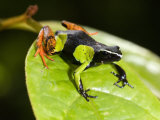 Close-Up of a Painted Mantella Frog, Madagascar Lmina fotogrfica