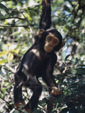 Monkey Hanging from a Tree Branch Photographic Print by Nigel Pavitt