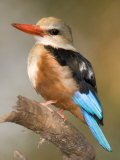 Close-Up of a Grey-Headed Kingfisher Perching on a Branch, Tarangire National Park, Tanzania Photographic Print