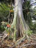 Spreading Roots of a Tree in the Forest of Sao Tomé and Principé Photographic Print by Camilla Watson