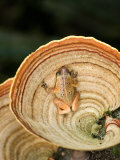 View of a Golden Palm Tree Frog on Tree Fungus, Madagascar Lmina fotogrfica