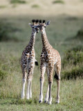 Masai Giraffes in a Forest, Masai Mara National Reserve, Kenya Photographic Print