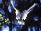 Fairy Tern in Flight, Aride Island Photographie par Mark Hannaford