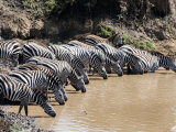 Burchell's Zebras Drinking Water from a River, Mara River, Masai Mara National Reserve, Kenya Photographic Print