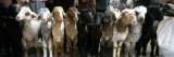 Sheep in a Market, Kashgar, Xinjiang Province, China Photographic Print by Panoramic Images