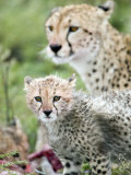 Cheetah Cub and its Mother Eating a Dead Animal, Ndutu, Ngorongoro, Tanzania Photographic Print