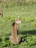 Cheetah Sitting in a Forest, Ndutu, Ngorongoro, Tanzania Photographic Print