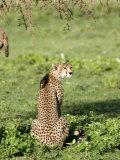 Cheetah Sitting in a Forest, Ndutu, Ngorongoro, Tanzania Photographic Print