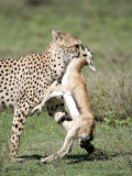 Cheetah Eating a Dead Thomson's Gazelle, Ndutu, Ngorongoro, Tanzania Photographic Print