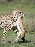 Cheetah Eating a Dead Thomson's Gazelle, Ndutu, Ngorongoro, Tanzania Photographic Print