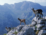 Picos De Europa, Goats Stand on a Ridgeline in the Picos De Europa, Spain Photographic Print by John Warburton-lee