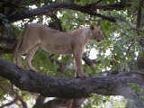 Lioness Standing on the Branch of a Tree, Tarangire National Park, Tanzania Photographic Print