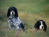 English Setters on the Moor, Caithness, Scotland Photographic Print by John Warburton-lee