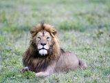 Lion Relaxing in a Field, Ngorongoro Crater, Ngorongoro, Tanzania Photographic Print