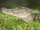 Close-Up of Spectacled Caiman, Cano Negro, Costa Rica Photographic Print