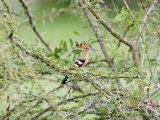 Hoopoe Perching on a Branch, Tarangire National Park, Tanzania Photographie