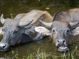 Water Buffalo Wallowing in Shallow Pool Near Kota Kinabalu, Sabah, Borneo Photographic Print by Mark Hannaford