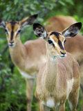 Black Faced Impala in Etosha National Park, Namibia Fotografisk trykk av Julian Love