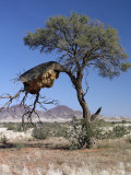 Large Communal Nest of Sociable Weavers in Dry Country Near Sesriem, Namibia Photographie par Nigel Pavitt