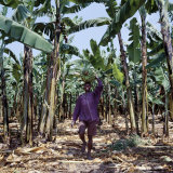 Bananas are Grown Everywhere in Uganda Fotografisk tryk af Nigel Pavitt