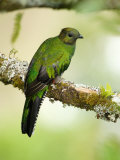 Close-Up of a Female Resplendent Quetzal Perching on a Branch, Savegre, Costa Rica Photographic Print