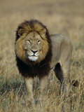 Kafue National Park, Mature Male Lion with Full Dark Mane on Busanga Plain, Zambia Fotografie-Druck von John Warburton-lee