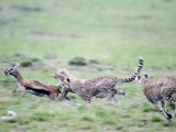 Cheetahs Chasing a Thomson&#39;s Gazelle, Masai Mara National Reserve, Kenya Photographic Print