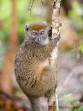 Eastern Lesser Bamboo Lemur Climbing a Tree, Lemur Island, Madagascar Photographic Print