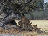 Pride of Lions in the Moremi Wildlife Reserve, Okovango Delta, Botswana Photographic Print by Nigel Pavitt
