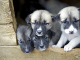 Troms  Tromso  Young Husky Puppies  Bred for a Dog Sledding Centre  Crowd Kennel Doorway   Norway
