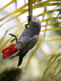 This African Grey Parrot is known as the Papa Gaio Do Principé Stampa fotografica di Camilla Watson