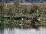 Huge Nile Crocodiles Bask on the Banks of the Victoria Nile Below Murchison Falls Photographic Print by Nigel Pavitt