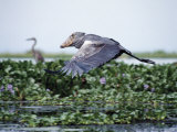 Rare Shoebill, or Whale-Headed Stork Lives in Papyrus Swamps and River Marshes Photographie par Nigel Pavitt