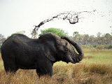 Elephant Sprays Mud from its Trunk over its Body to Cool Down Photographic Print by Susanna Wyatt