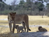 Lioness and Her Two Cubs Play on a Shaded Mound in the Moremi Wildlife Reserve Photographic Print by Nigel Pavitt