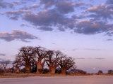 Full Moon Rises over Spectacular Grove of Ancient Baobab Trees, Nxai Pan National Park, Botswana Fotografisk tryk af Nigel Pavitt