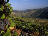 Grapes and Vines in the Douro Valley Above Pinhao Photographic Print by Ian Aitken