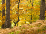 Woodland in Autumn, Scotland, UK Photographic Print by Nadia Isakova